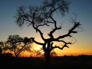 A marula tree at sunset