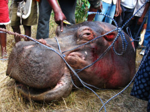 hippo head detached from the body