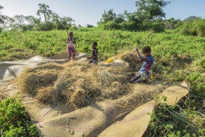 Some kids from our village threshing the recently harvested rice.