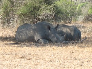 Rhinos in the shade on a hot day