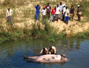 men trying to get a hippo out of the river after it had been shot