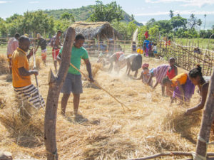 Many people from different villages on Nosy Mitsio working together to reap the harvest, each with their own part of the job to do.