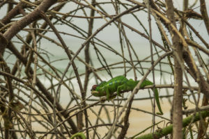 A thick tangle of common thornbushes that grow throughout Nosy Mitsio. Even this agile chameleon found it difficult to pick his way through it.