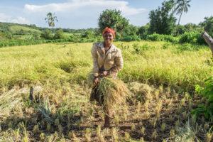 Harvesting rice on Nosy Mitsio