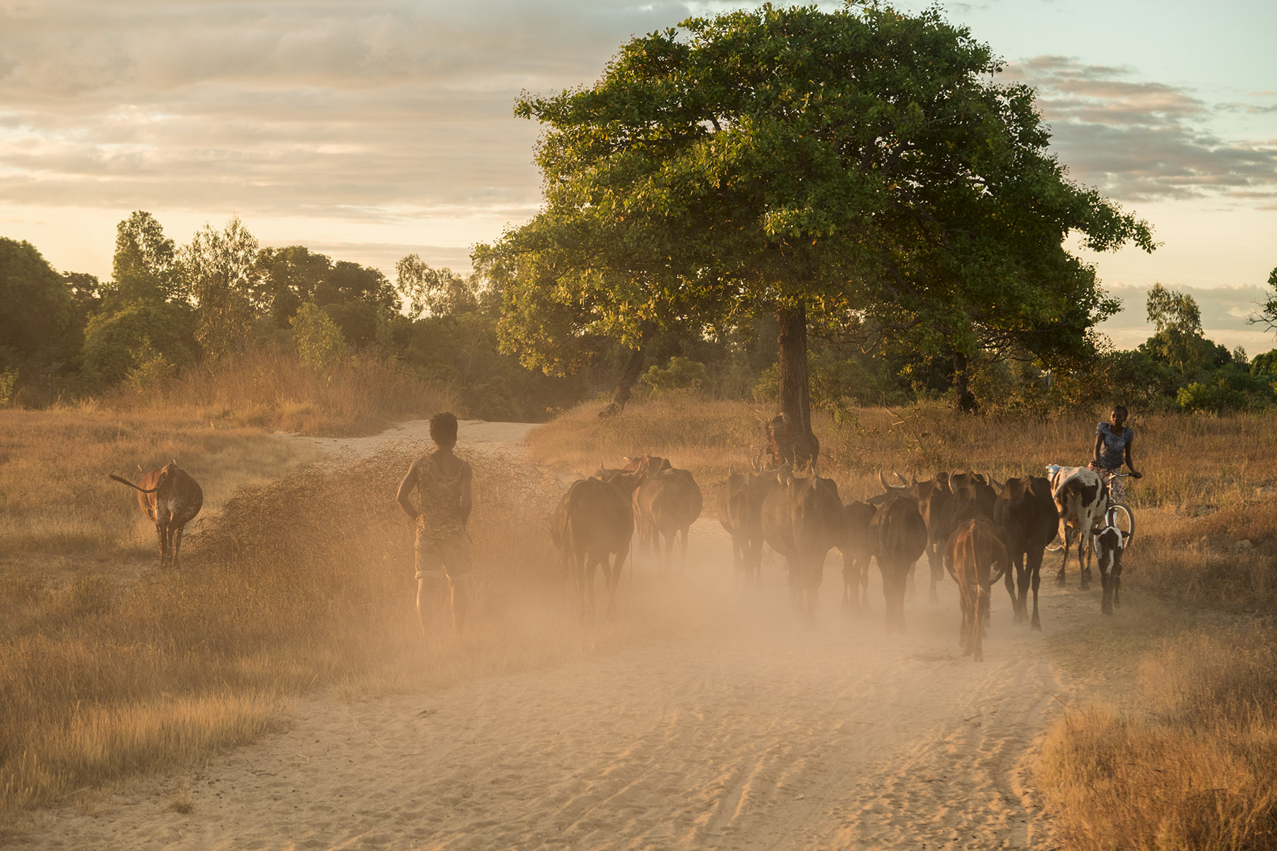 A boy herding cows back home in the evening, near the village of Antanamazava.