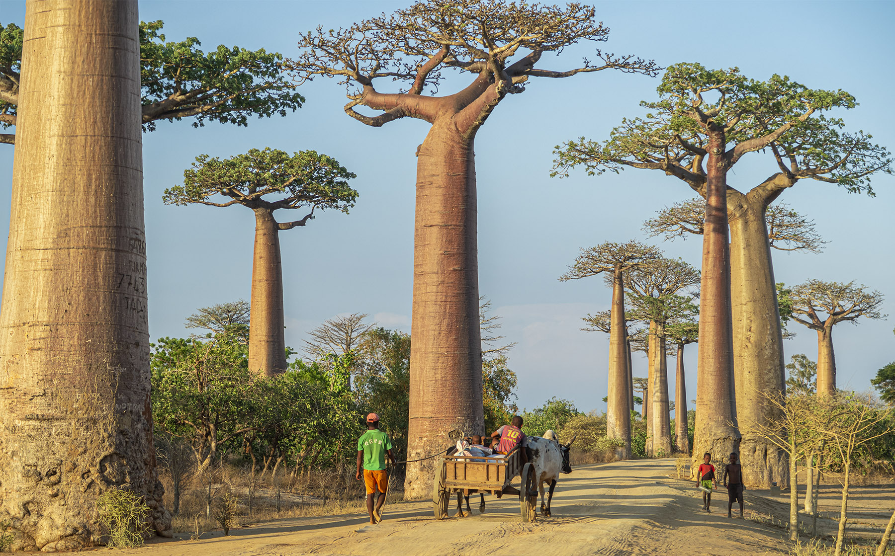 """Sunset at the """"Avenue of Baobabs"""".  One of the most iconic places in Madagascar.  We were able to visit for the first time shortly before we left."""